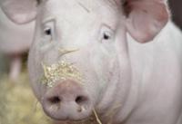 bepalen van het optimale slachtgewicht van vleesvarkens
